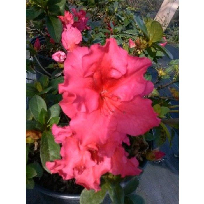 Azalea Red Ruffle 3