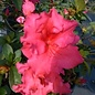 Rhododendron Red Ruffle 3