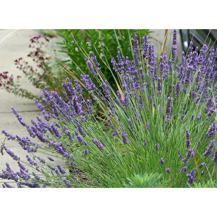 Lavender Grosso Qt