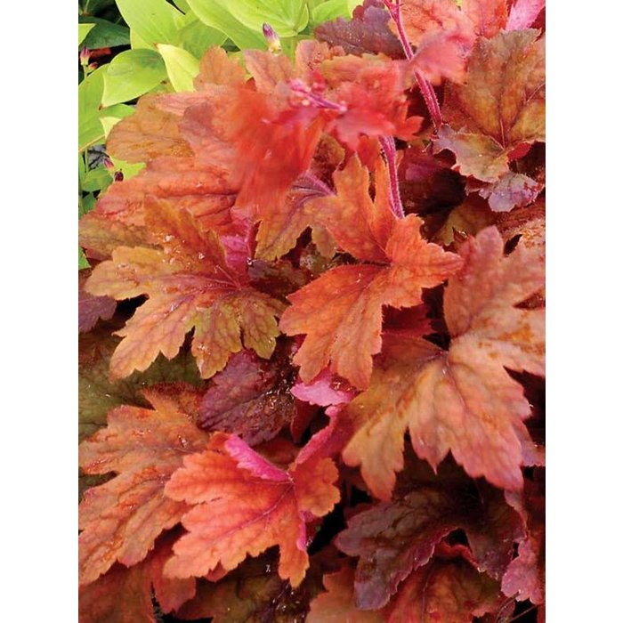 Heucherella Sweet Tea 1