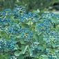 Viburnum 'Blue Muffin' 3