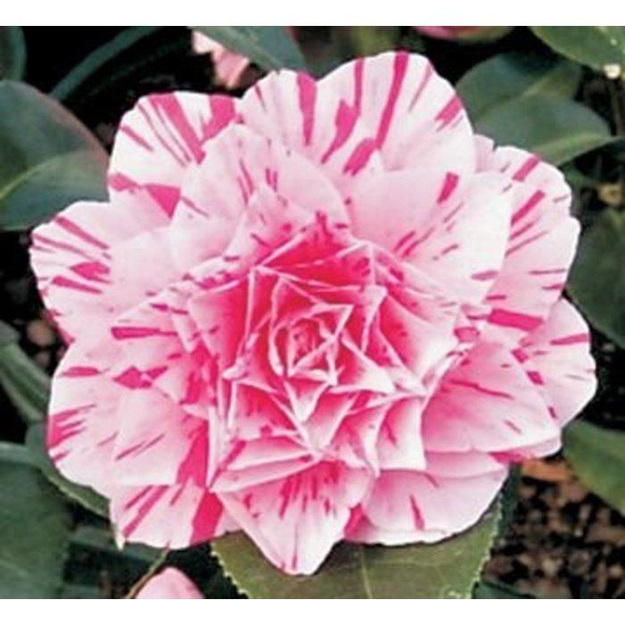 Camellia J 'Les Marbury' 1