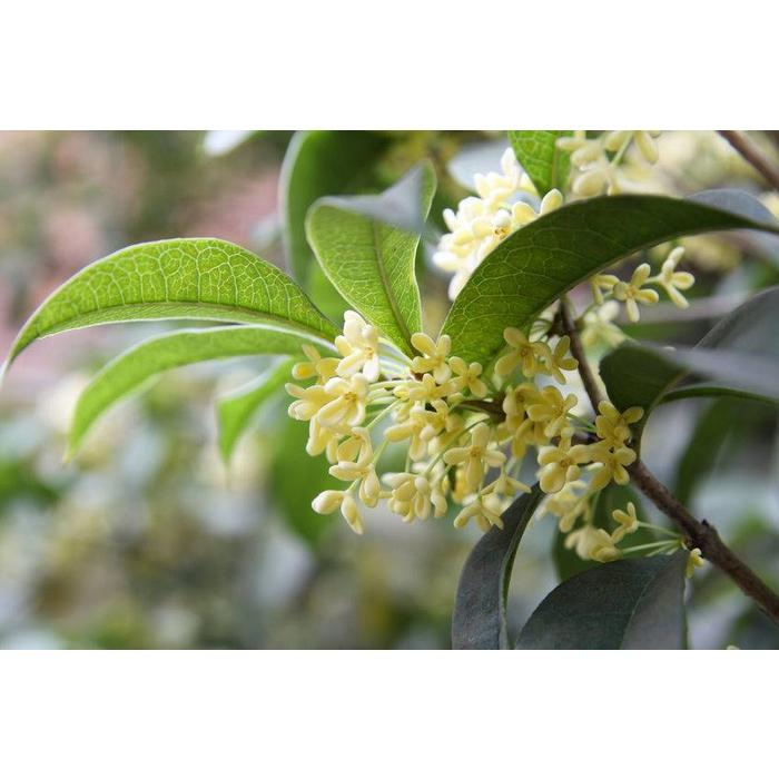 Osmanthus fragrans 3