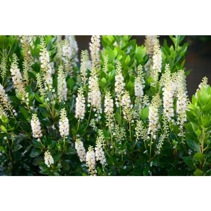 Clethra aln 'Sixteen Candles' 3