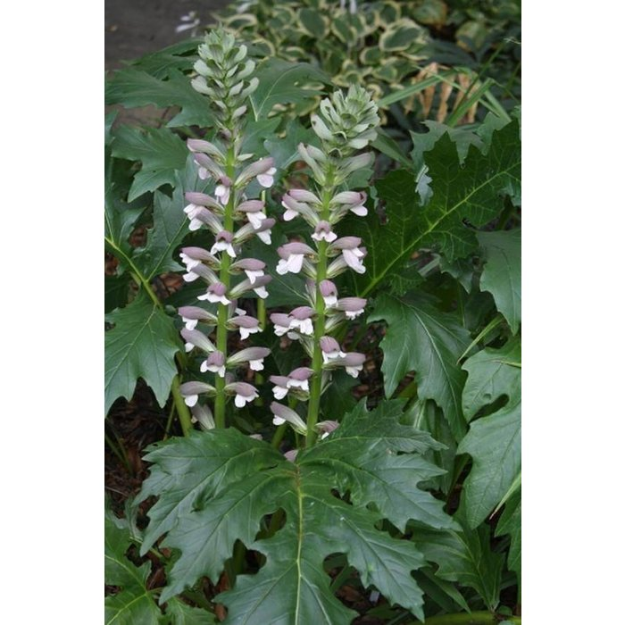 Acanthus White Water 1