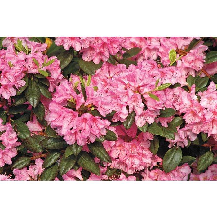 Rhododendron x 'Bubblegum' 2