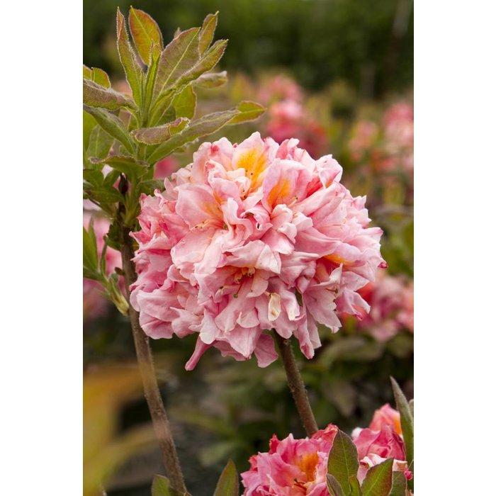 Azalea Ex Pink Sunset 2