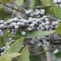 Myrica Southern Wax Myrtle 3