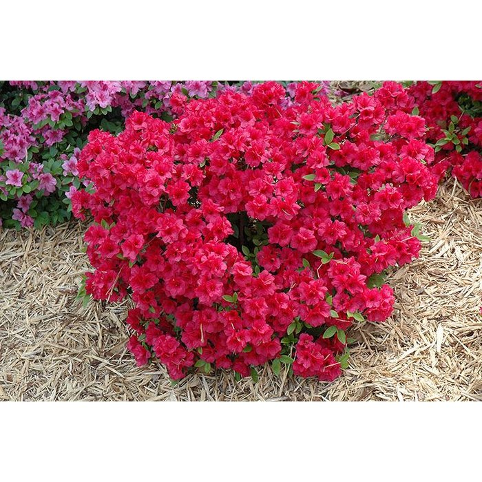 Azalea Hershey Red 3