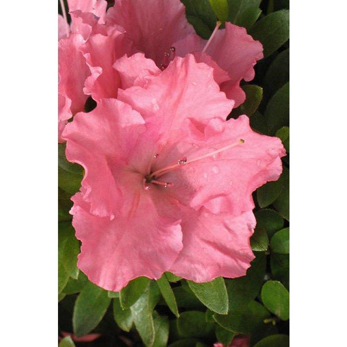 Azalea Gumpo Pink 3