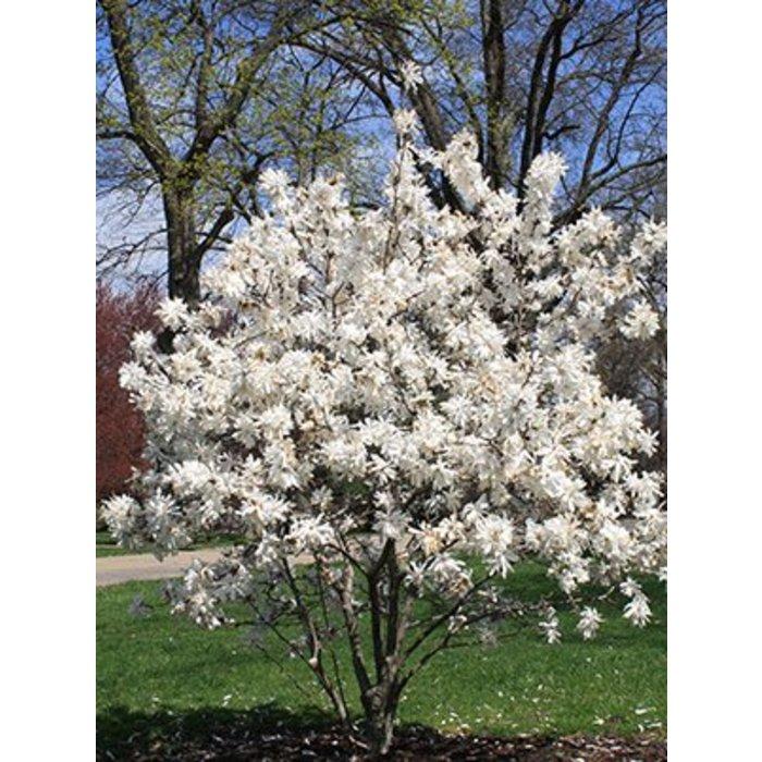 Magnolia Royal Star 3