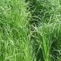 Gulf Annual Rye Grass 50#