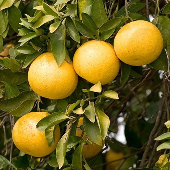 Citrus, Ruby Red Grapefruit 5 Gal