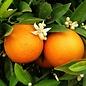Citrus, Naval Orange 3 Gal
