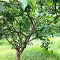 Plum Green Gage Semidwarf 7