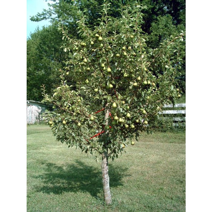 Pear Moonglow Dwarf 7