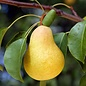 Pear Kieffer Dwarf 7
