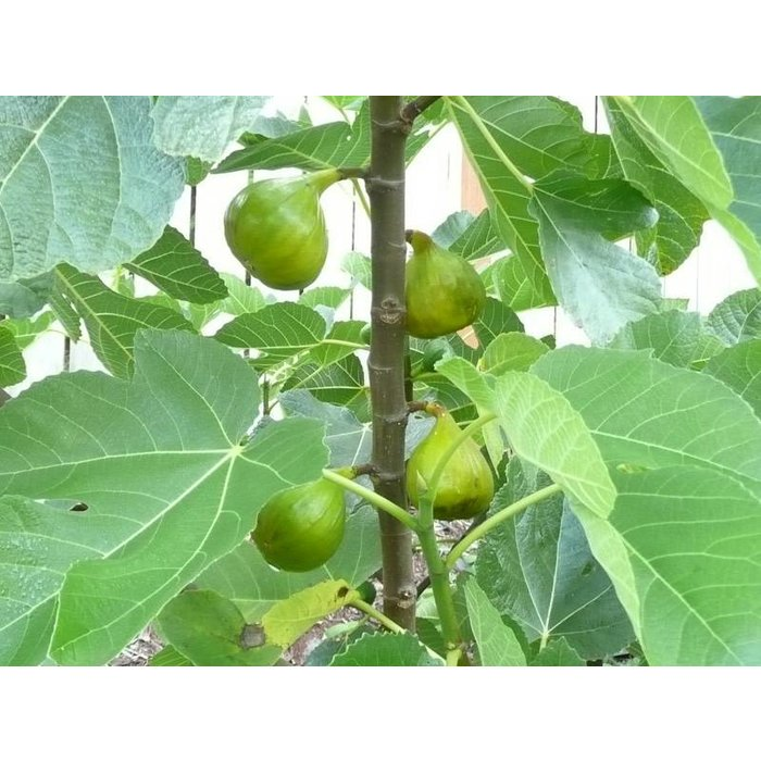 Fig Lattarulla 5
