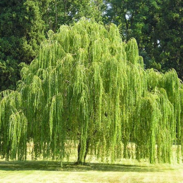 Salix b 'Weeping Willow' 15