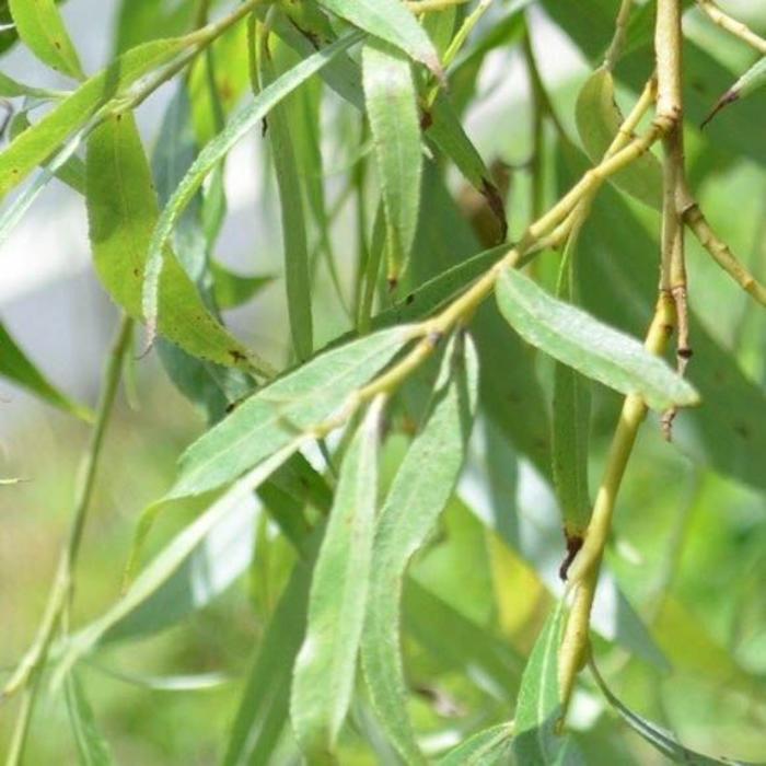 Salix b 'Weeping Willow' 15