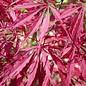 Acer palmatum Tamukeyama 3