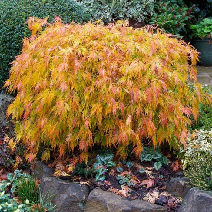 Acer palmatum Viridis 1.5