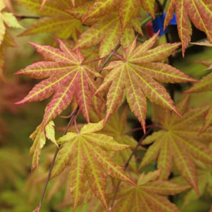 Acer shirasawanum Autumn Moon 7