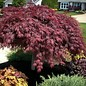 Acer palmatum Crimson Queen 3