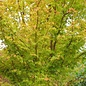 Acer palmatum Sango Kaku 1.5