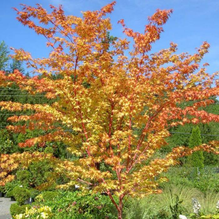 Acer palmatum Sango Kaku 10