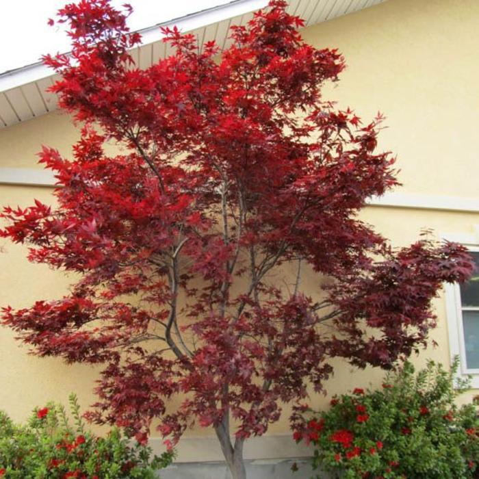 Acer palmatum Emperor 1.5