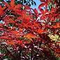 Acer palmatum Emperor 7