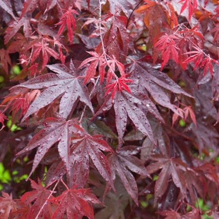 Acer palmatum Bloodgood 7