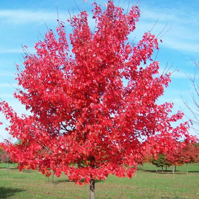 Acer rubrum October Glory 7