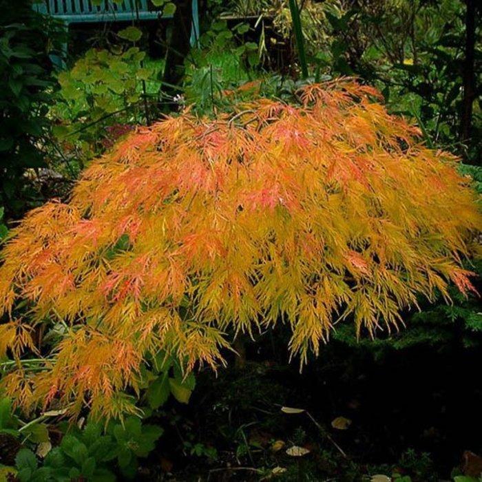 Acer palmatum Waterfall 5