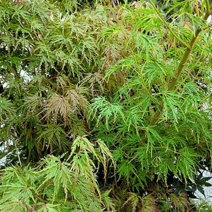 Acer palmatum Higaseyama 7