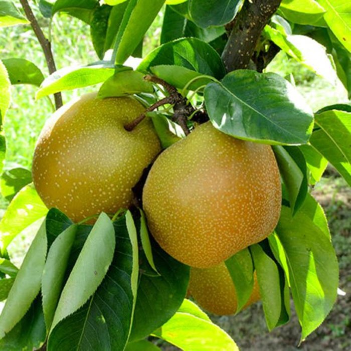 Pear Shinseiki Asian Dwarf 7