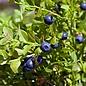 Gaylussacia Wild Blueberry Berried Treasure 3