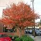 Amelanchier 'Autumn Brilliance' 7