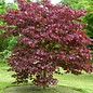 Cercis Forest Pansy Redbud 7
