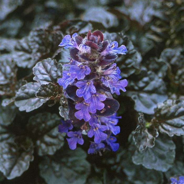 Ajuga Black Scallop Qt