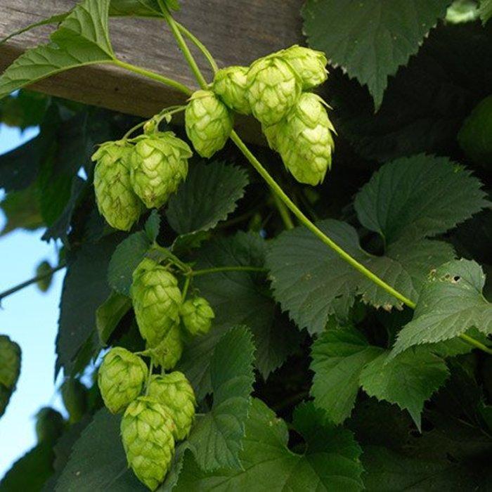 Hops Vine Centennial 1
