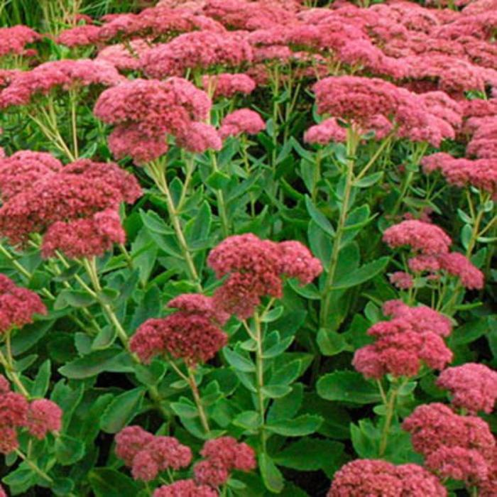 Sedum Autumn Joy Qt