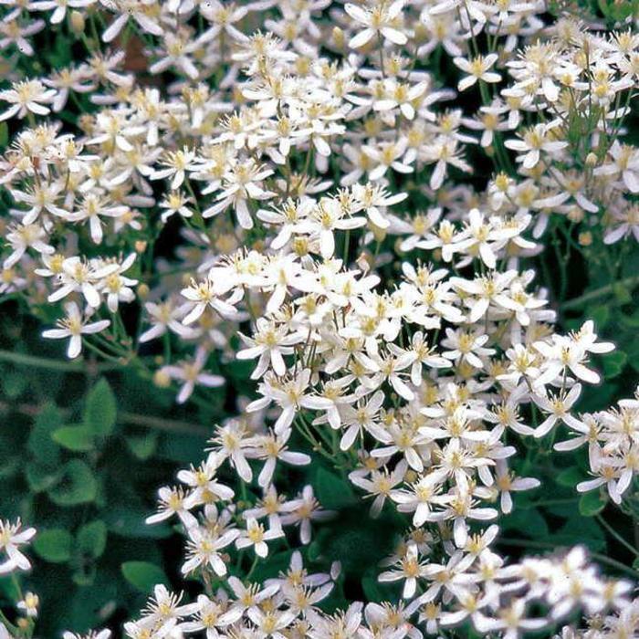 Clematis Paniculata Sweet Autumn 1