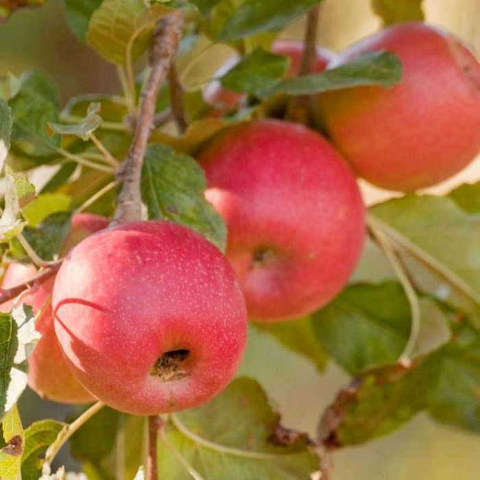 Apple, Pink Lady (Self-Fruiting) 5