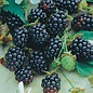 Blackberry, Triple Crown 2