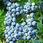Blueberry, Brightwell Rabbiteye 2