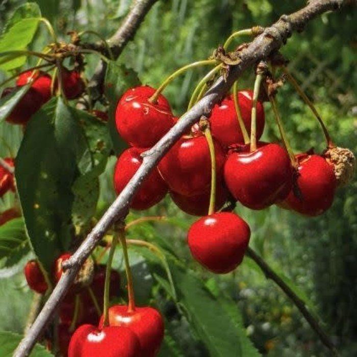 Cherry, Bing 5