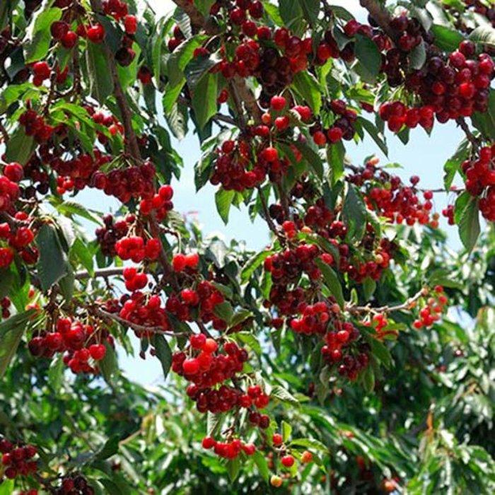 Cherry, Stella 5