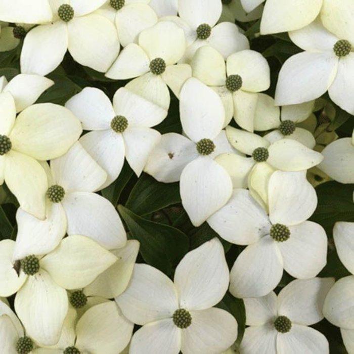 Cornus, White Blueray 5